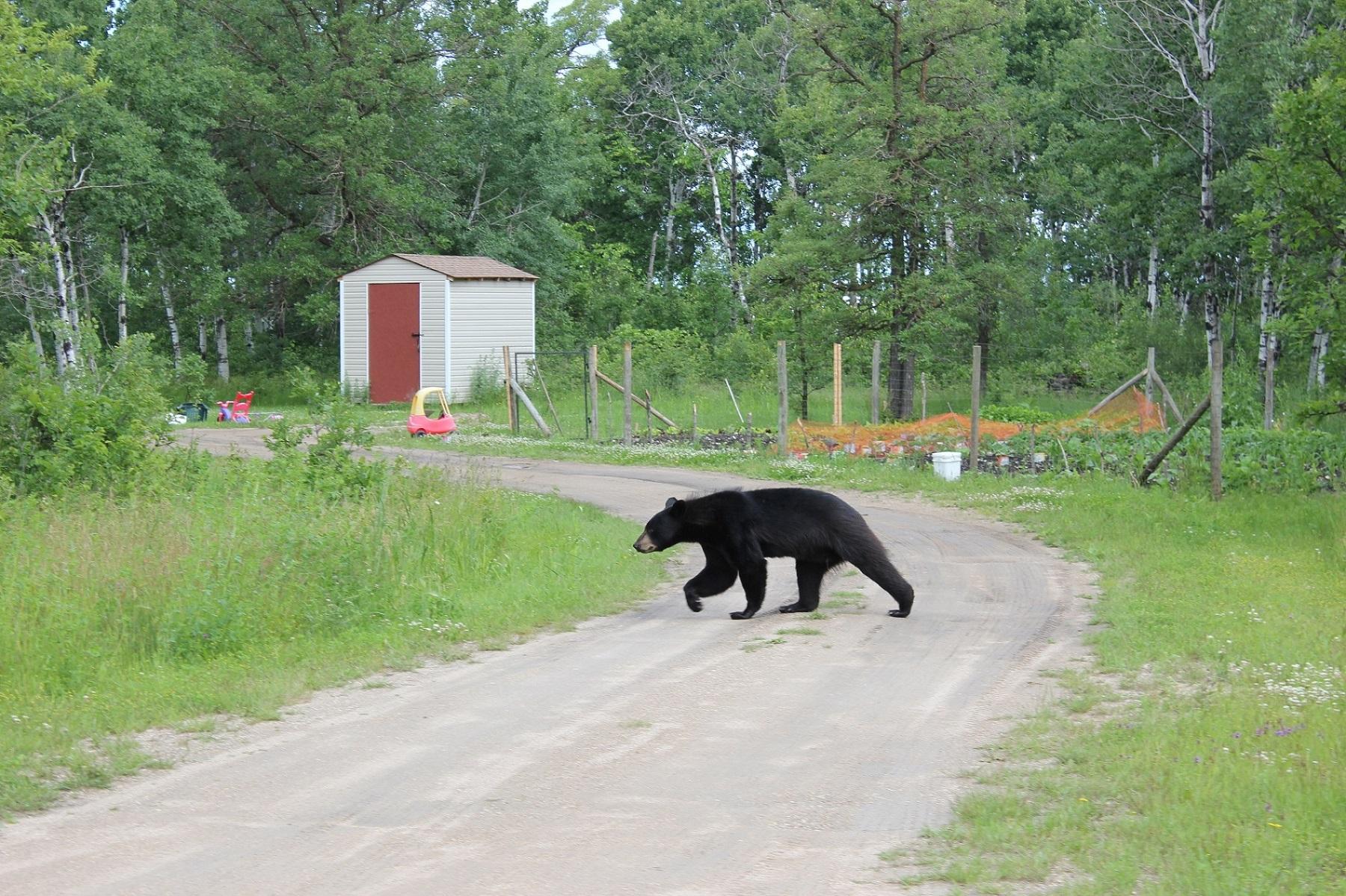 black bear crossing driveway